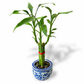 Feng Shui Bamboo Plant