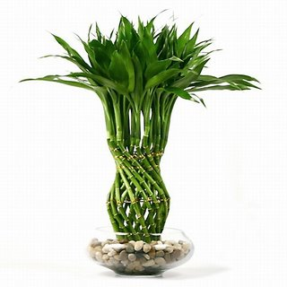 lucky bamboo plants for sale with How To Take Care Of Bamboo Plants on How To Plant Bamboo also Buy Monstera Deliciosa Plants Online India additionally Potted Plants together with Yucca Plant 2 Canes likewise Bambusa.